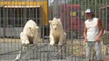 Le petit déjeuner des lions du cirque Pinder
