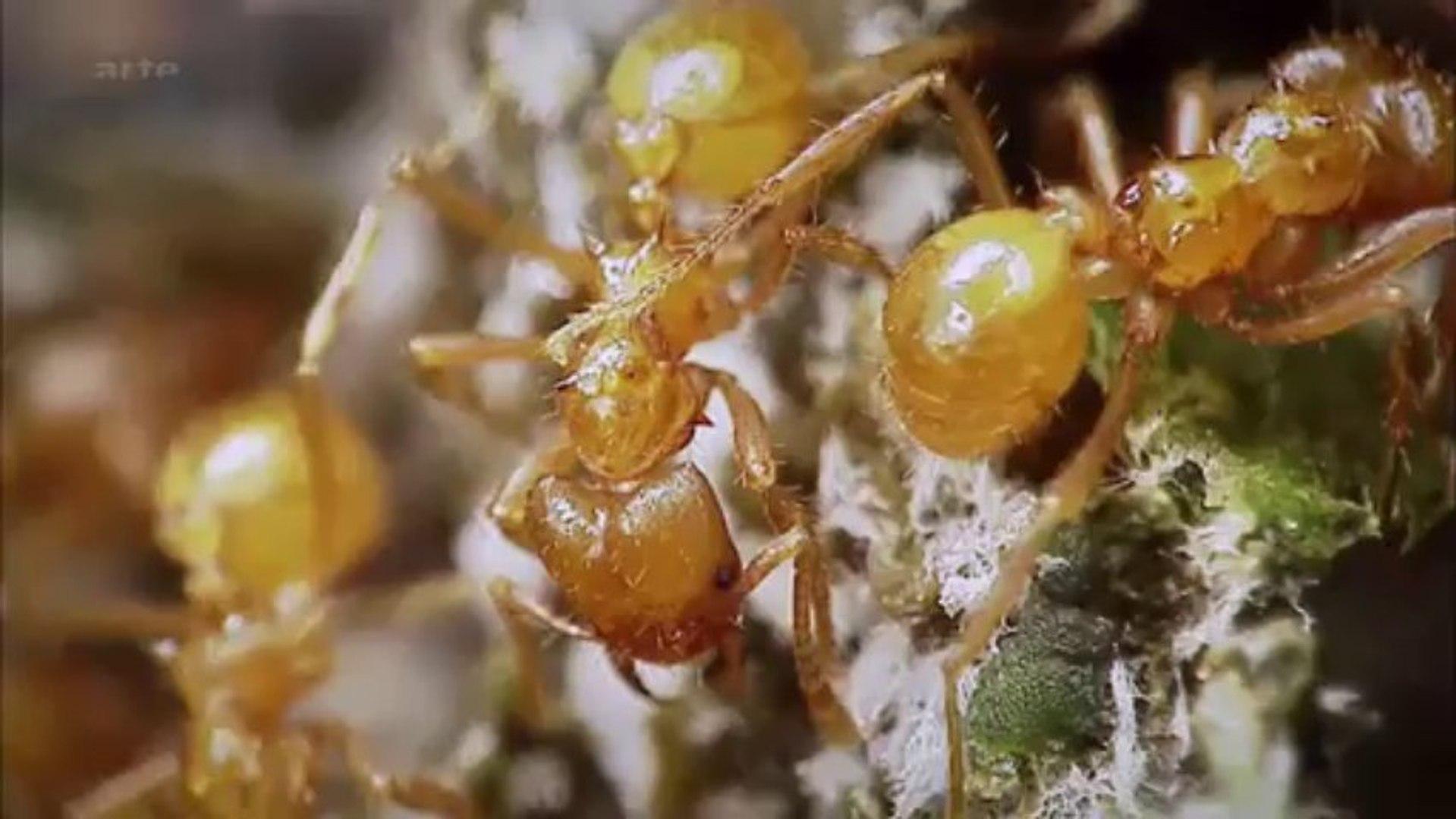 La planète des fourmis - Anatomie d'une colonie X1080