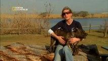 american staffordshire terrier de trabajo