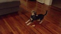Ce chien joue avec un os invisible!? Tellement mignon le toutou!