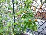 Haricots et tomates se marient dans mon jardin.