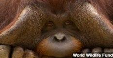 Male Orangutans Communicate Travel Plans to Females