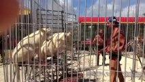 Cirque Pinder Dressage lion blanc juillet 2013