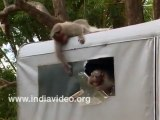 Funny Video - Monkey troup in action