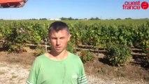 Premières vendanges dans le Vignoble nantais - Vendanges