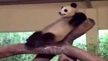 Un panda qui se relaxe? Chat qui dort sur un iguane? Animaux les plus marrants!!