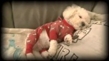 Our Merry Dawn Kennel Bichon Frise Muffin being Muffin
