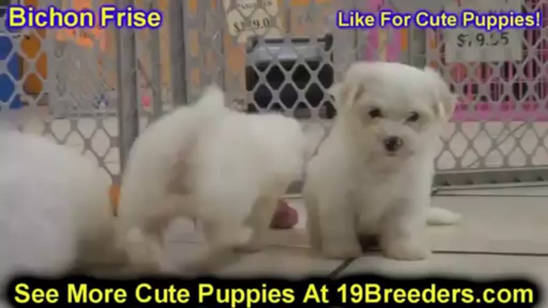 Bichon Frise, Puppies For Sale, In, Charleston, 19Breeders, South Carolina,  SC, Greenville, County