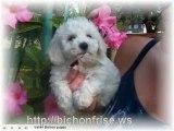 Bichon Frise puppies and Bichon Dogs