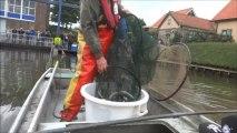 Les pêcheurs néerlandais viennent à la rescousse des anguilles
