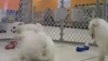 Bichon Frise Puppies For Sale, In Raleigh, 19Breeders, North Carolina, NC, Durham, Charlotte