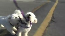 Bichon Frise Puppy & Dog Biting Leashes Acting Crazy Playing on their Morning Walk