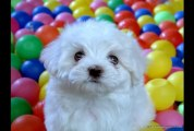 Bichon Frise Dog breed :Details of Bichon Frise Dog:Information:Video:Images:News Bichon Frise dog