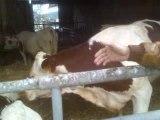 comique langue de vache
