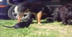 Une bagarre de chats stoppées par des chiens