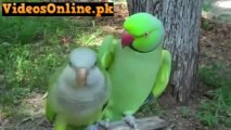 Parrot Saying Give Me A Kiss LOL Amaizing