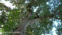 Ficus Racemosa, Cluster Fig Tree in Kaeng Krachan National Park