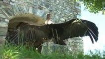 Donjon des Aigles à Beaucens spectacle animalier