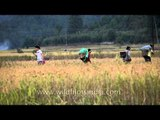 A rich and fruitful harvest: In Ziro Valley agricultural fields