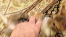 Un bébé chat qui joue comme un chien : Va chercher!!!