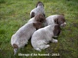 Chiots Braque allemand L.O.F | Elevage d'An Naoned