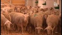 Le retour des moutons dans les Gorges du Gardon