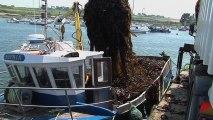 Algues : gestion durable de la récolte par les goémoniers dans le parc naturel marin d'Iroise, aire marine protégée située dans le Finistère à la pointe Bretagne en France