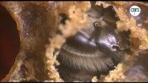 Emergence, ou la naissance d'une abeille