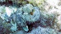 Octopus vulgaris, Polpo, Common octopus or Scuttle
