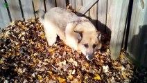 Des chiens jouent comme des fous dans les feuilles. COMPILATION.