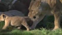 Des lionceaux jouent et chassent. Trop mignon!