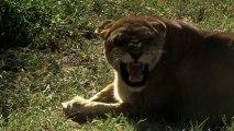 Son Aslanlar: 2.Bölüm | TrSub | 720p |
