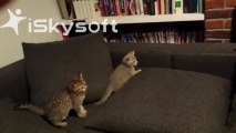 3 chatons s'amusent ensemble / 3 kitten playing together
