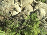 Hautes-Alpes: le loup accusé d'avoir tué une centaine de brebis - 07/11