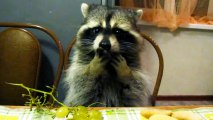 Raccoon sits up at dinner table, eats grapes