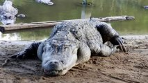 SLOW ALLIGATOR BASKING IN THE SUN - GIANT REPTILE