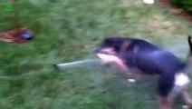 Les chiens face aux arrosages automatiques... Trop drôles!!