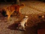 Rencontre entre un chio Bulldog Anglais et un chiot Leonberg :)