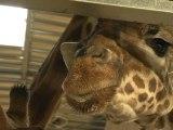 Les animaux du zoo de Vincennes en quête de parrains - 16/11
