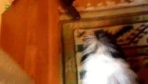 Chien contre Aspirateur - Compilation d'animaux marrants