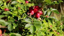 810_Pomegrenate_fruits_attached_to_its_branches