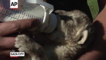 Lion Cubs : it's time to eat!  at Gaza City Zoo