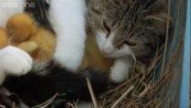 Un Chat adopte des bébés canard. Trop Mignon!