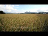 View from the middle of paddy fields: Ziro paddy fields