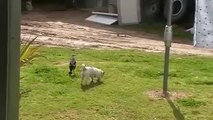 Dog playing with bird, they're friends! Australian Magpie Playing