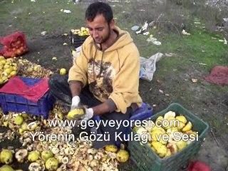 Geyve Çeltikler ( Romanlar ) Ayva Meyvesi Temizleme İşi