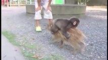 Petit singe s'accroche à un petit cochon