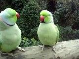 Talking Parrot - Parrots Talk