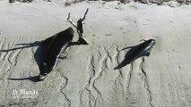 Une quarantaine de baleines échouées dans un parc naturel en Floride