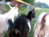 Ding-ding-ding, ding-ding-ding… goat with a big balls!